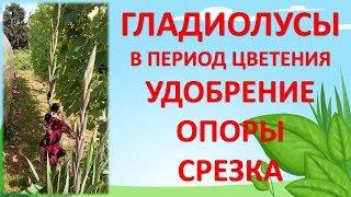 видео Уход за растениями гладиолусов