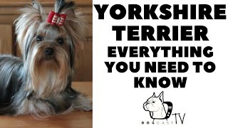 Yorkshire Terrier  Everything you need to know!  DogcastTV!