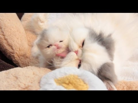 interferon for cats