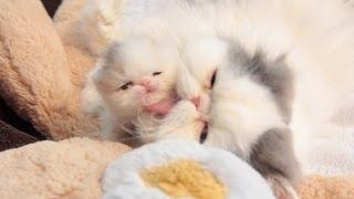 Marshmallow Kitten Development at 3 Weeks Old