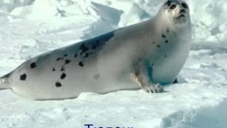 Животные холодных районов земли..wmv