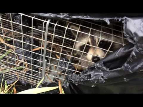 Вопрос: Выживет ли енот в Саратовском лесу?