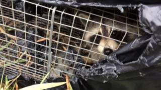 Охота на енотов видео смотреть до конца