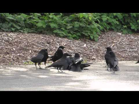 This Video Of Crow Court Will  is listed (or ranked) 1 on the list Crows Do Not Forget And Definitely Don't Forgive - Welcome To Crow Court