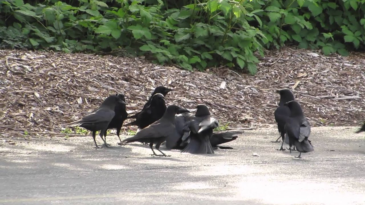 corvid research school of environmental and forest resources