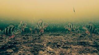 Зимняя рыбалка 2016-2017 на окуня с подводной камерой. Первый лед(Зимняя рыбалка 2016-2017 с подводной камерой gopro. Ловля окуня на блесну и балансир. Подводные съемки на зимней..., 2016-11-12T07:58:22.000Z)