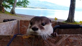 Otter Aty goes to Hokkaido! Watch Aty's adventures all at once! [Otter life Day 395]【カワウソアティとにゃん先輩】