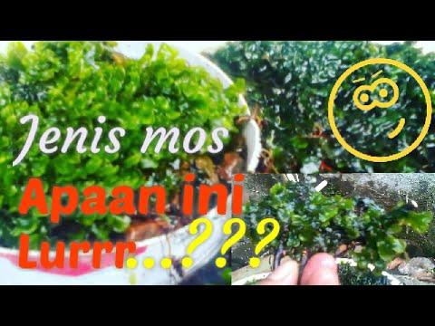 Mos Darat Untuk Aquascape 09 Youtube
