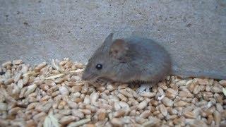 Поймал живую мышь