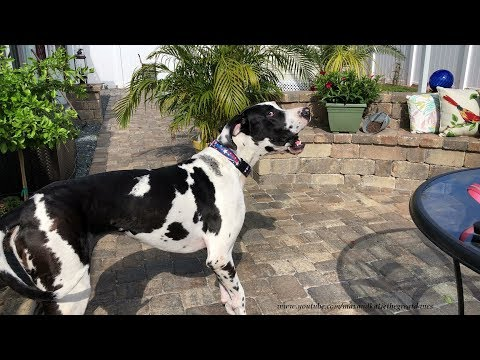 Neighbor Dog Is Surprised To Hear Great Danes Barking Not Chihuahuas