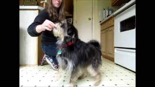 Awesome Dog Trick, Limping Performed By Koby Aka Puppy Einstein