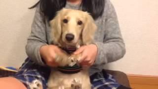 妹と犬が 8.6秒バズーカの お弁当ネタやってみました。