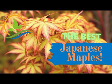 Best Japanese Maples Of All-Time! (Landscape Ideas)