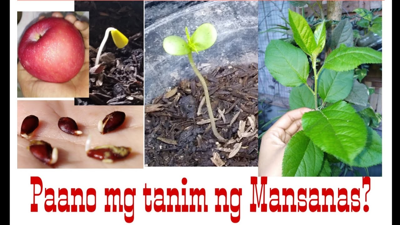 Paano mg tanim gamit ang buto ng mansanas? /How to grow Apple?/Part-1(step by step)#apple#mansanas