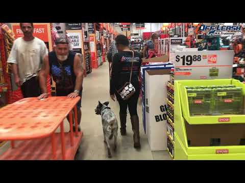 Blue Heeler 'Blue' Before and After video- Off Leash K9 Training Sarasota