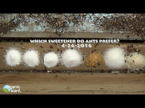 Which sweetener do ants prefer? 4-26-2016 | Organic Slant