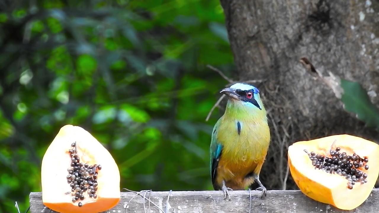 amazonian motmot eating papaya birds in search of food tropical