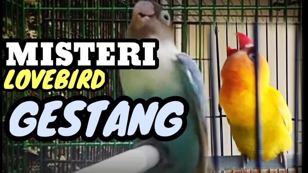 Lovebird Gestang Dibikin Konslet Youtube