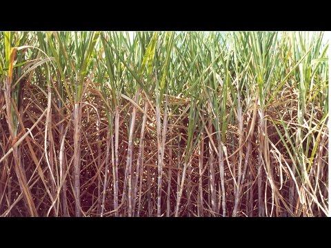 Curso Cultivo de Cana-de-açúcar para Produção de Cachaça - Colheita