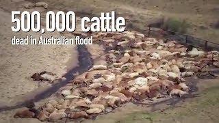 Australia: Flooding kills estimated 500,000-plus cattle in Queensland