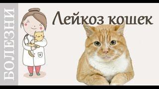 Лейкоз кошек. Кто болеет, признаки лейкоза, лечение. Советы ветеринара