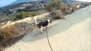 Lissi Beagle And Maia Walking In Spain
