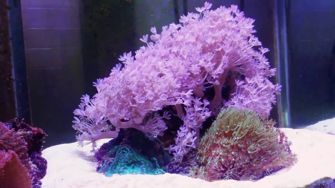 First Corals. Pulsing Xenia not looking too hot. | 3reef ...
