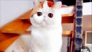 Кошка с глазами ЛЕМУРА. Порода экзот. Кошки!