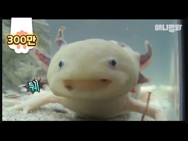 Axolotl, you're cute even when you're sick