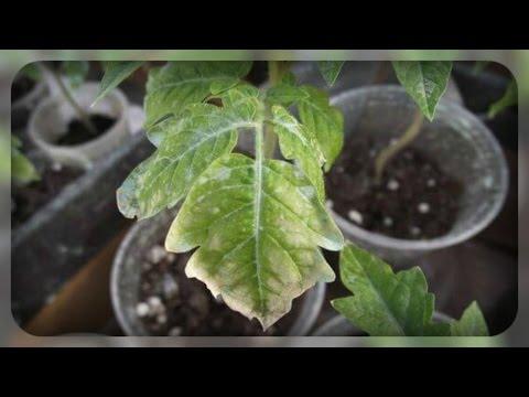 Рассада побелела, как ее спасти ??? | огородникам | заболевание | побелела | томатов | рассады | рассаду | рассада | болезни | советы | овощей