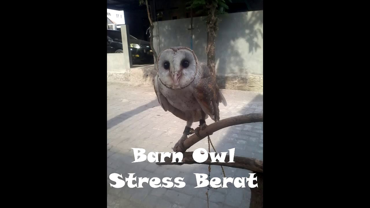 Ciri Ciri Tyto Alba Bo Dares Stress Youtube