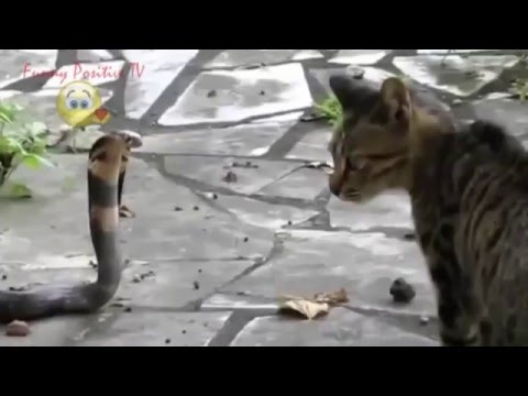 Amazing Videos Attack Cat vs Snake – Real Fight HD