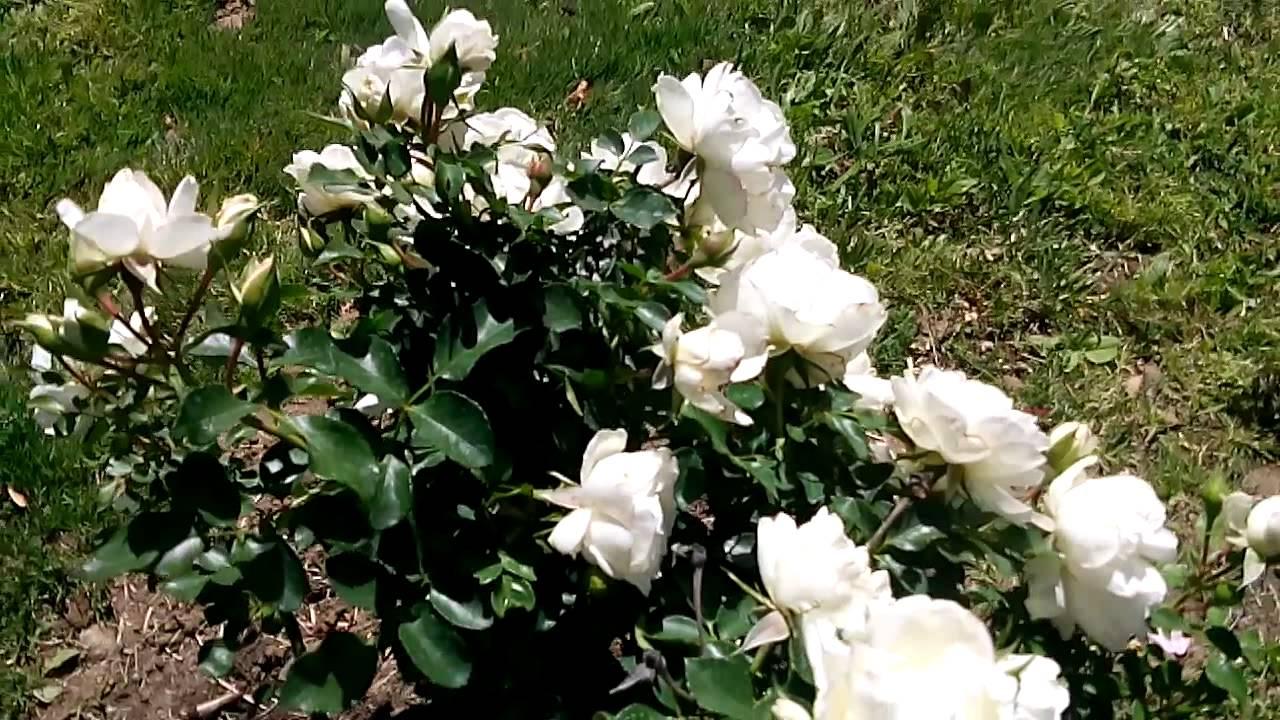 The Little White Rose Bush Youtube