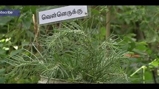 Vellai Arugampul clears Skin allergies, Tips to grow at home - Poovali 13-10-2015 | Medicinal Plants | News7 Tamil tv shows 13th October 2015 at srivideo