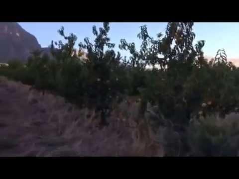 Organic Peach Orchard in Cape Town, SA