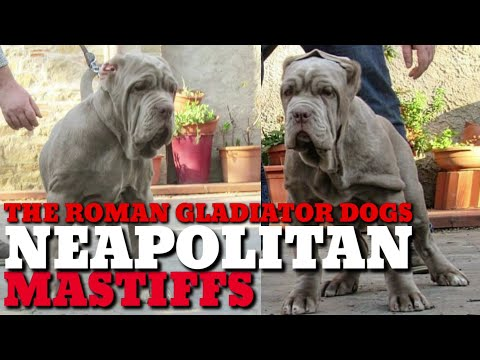 The Roman Gladiator Dogs: Neapolitan Mastiffs. Mastino Huge Massive War Dog Ancient Breed. Available
