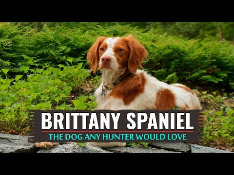 Brittany Spaniel – Must Know Information
