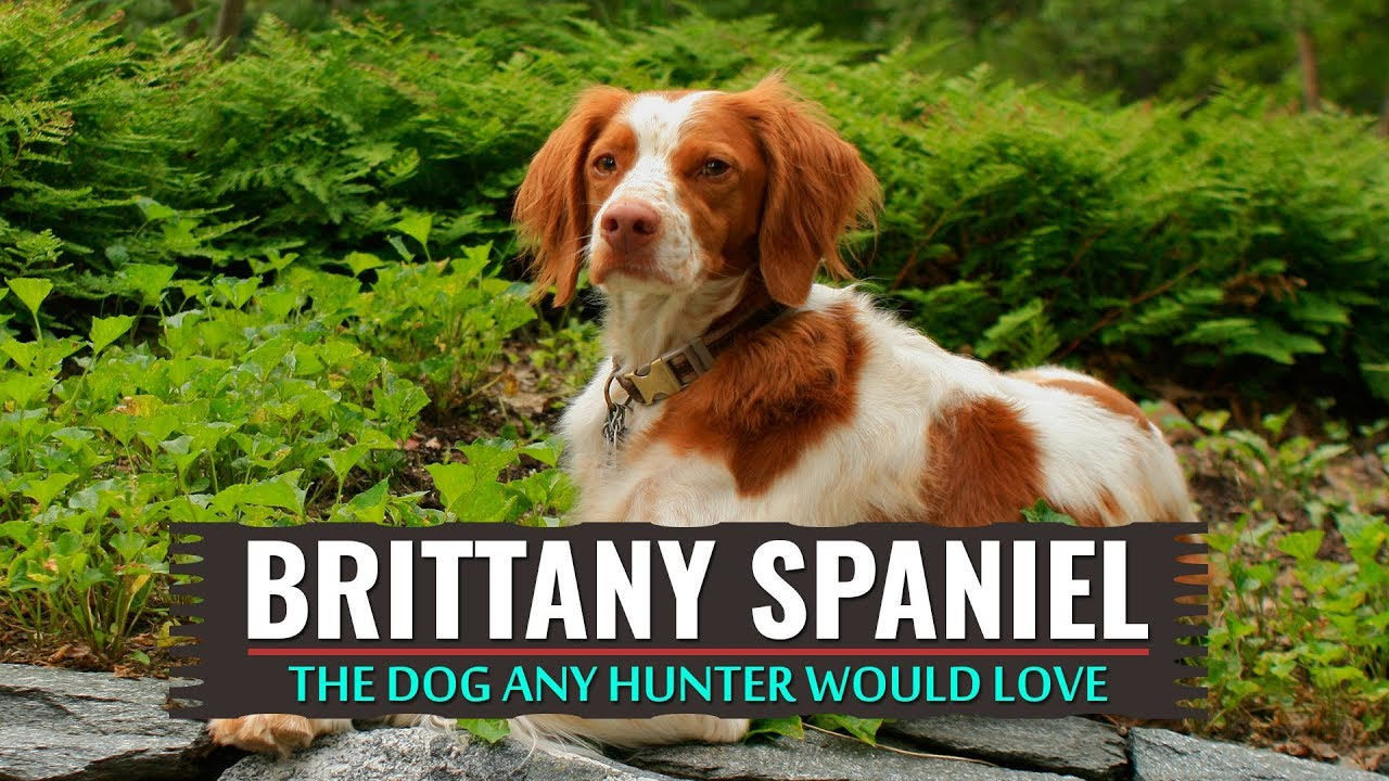 Brittany Spaniel Must Know