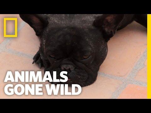 Small Dog vs. Big Bears | Animals Gone Wild