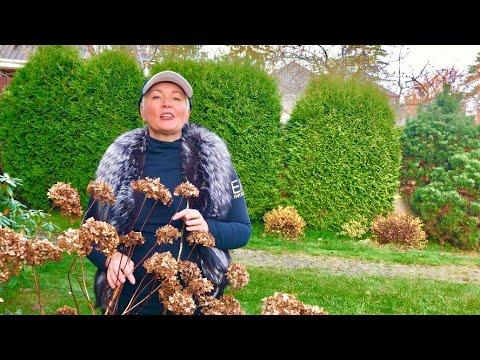 Как готовить к зиме гортензию садовую