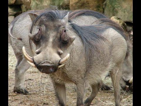 การเลี้ยงหมูป่า(Boar)
