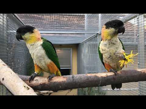 Na návštěvě u Dany Havelkové – amazónek černotemenný