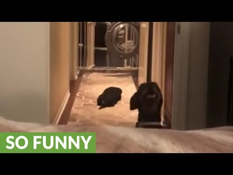 Determined dog finds a way to jump onto bed