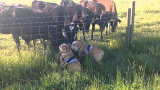 English Bulldogs Love Cows