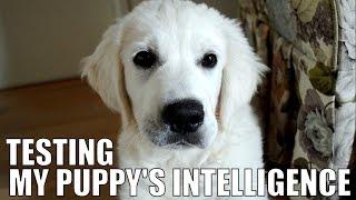 Testing My Puppy's Intelligence (golden Retriever)