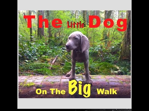 The Little Dog On The Big Walk. A Baby Weimaraner Puppy Story.