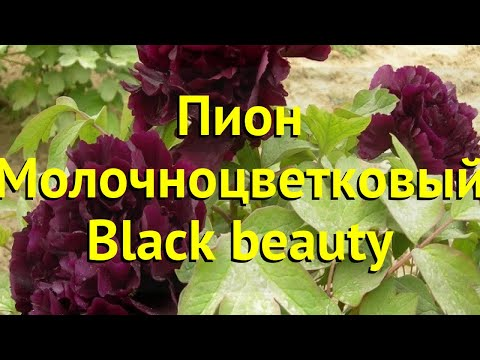 Пион молочноцветковый Блэк Бюти. Краткий обзор, описание paeonia lactiflora Black beauty