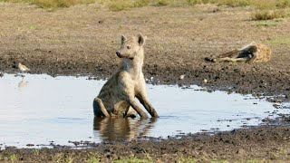 Attaching a Radio Collar to a Hyena is a Tricky Proposition