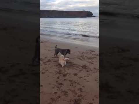 Dandie Dinmont Terrier at play with Shar Pei