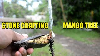 Stone Grafting Mango Tree